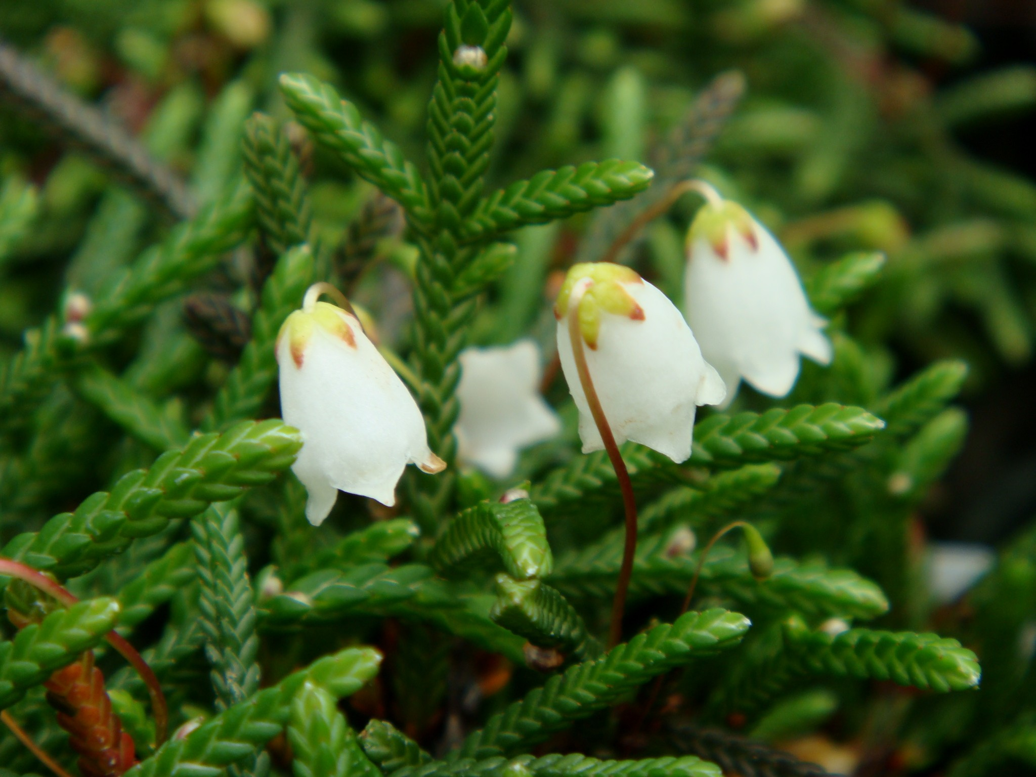 Cassiope Lycopodioides Pallas D Don