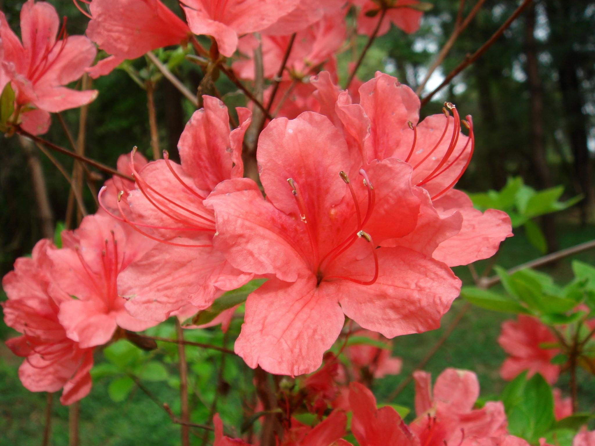 rhododendron kaempferi planchon