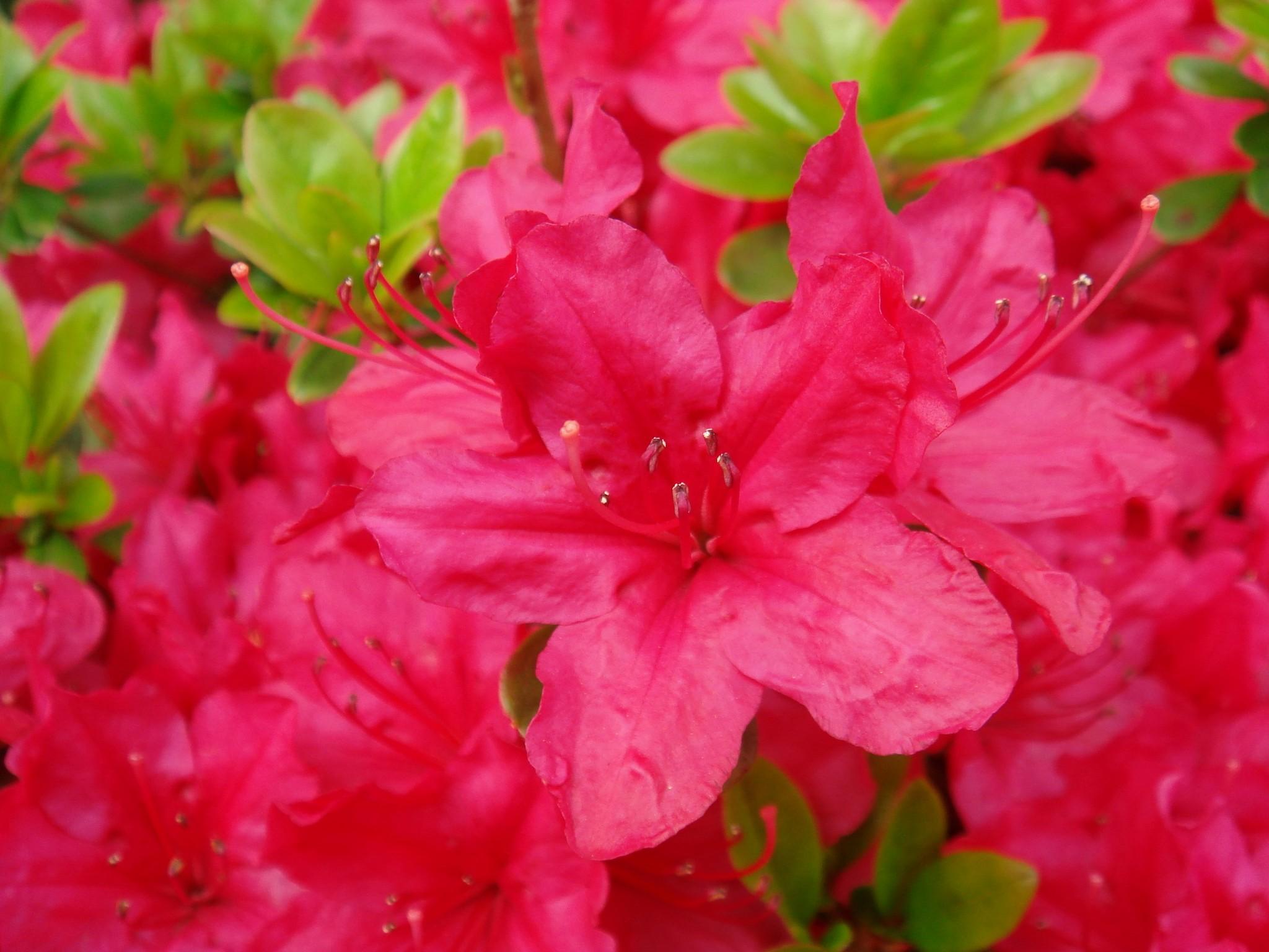 rhododendron obtusum  lindley  planchon cv  hinodekirishima