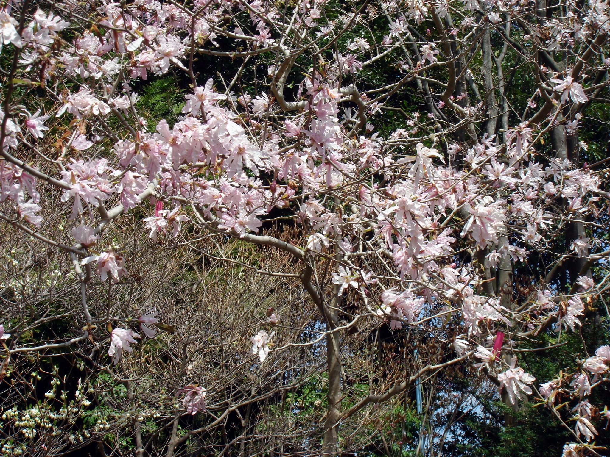 magnolia stellata siebold zuccarini maximowicz var keiskei makino. Black Bedroom Furniture Sets. Home Design Ideas