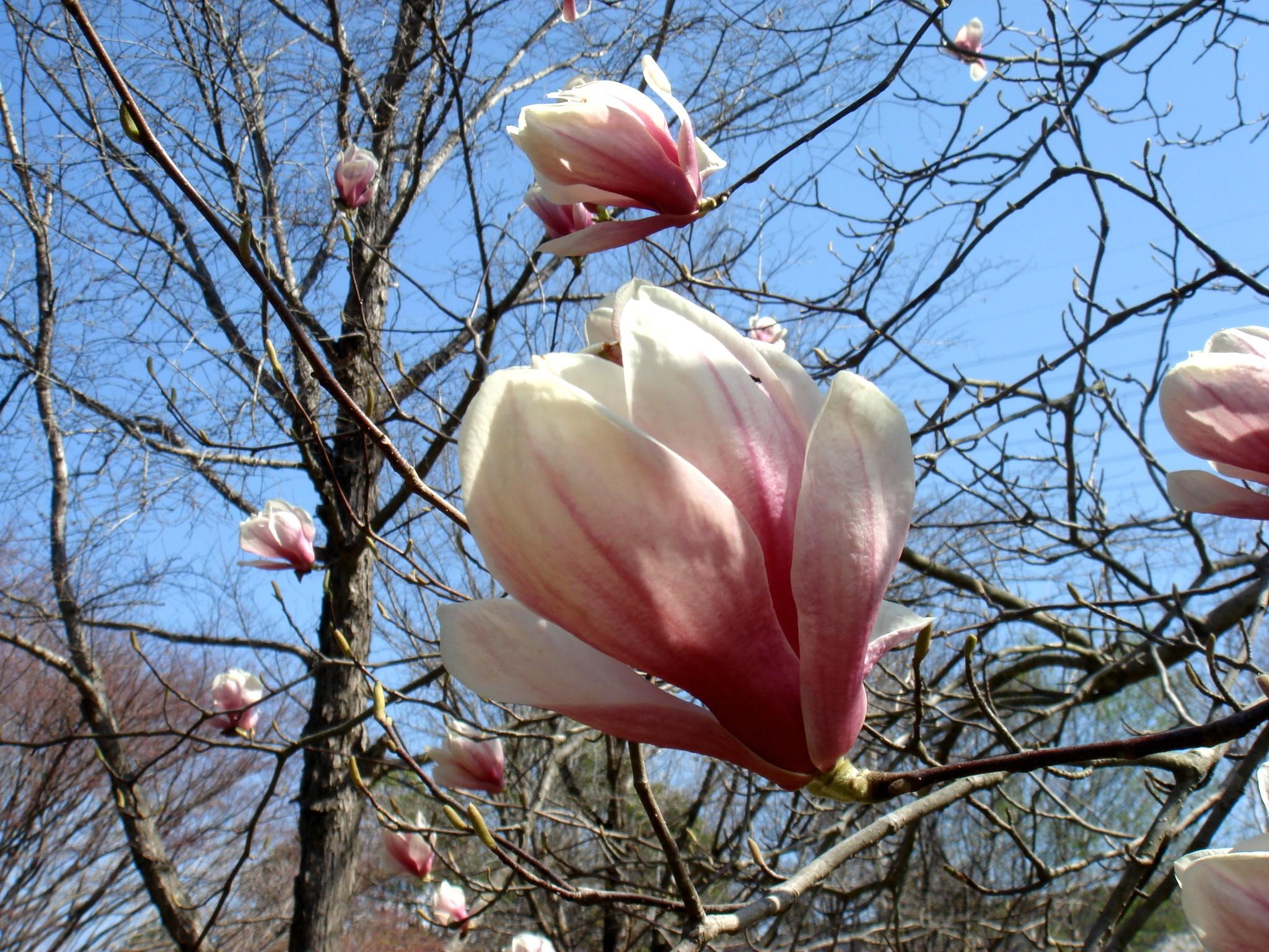 magnolia x soulangeana soulang bodin. Black Bedroom Furniture Sets. Home Design Ideas
