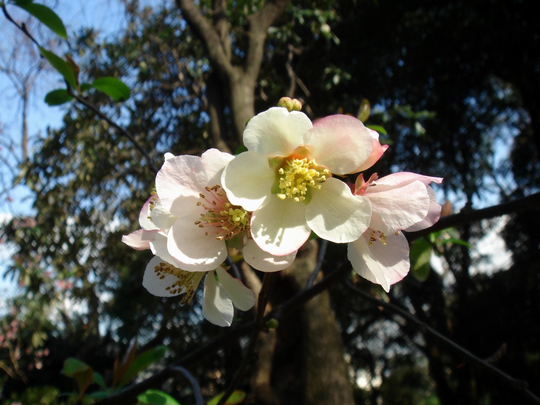 chaenomeles speciosa  sweet  nakai