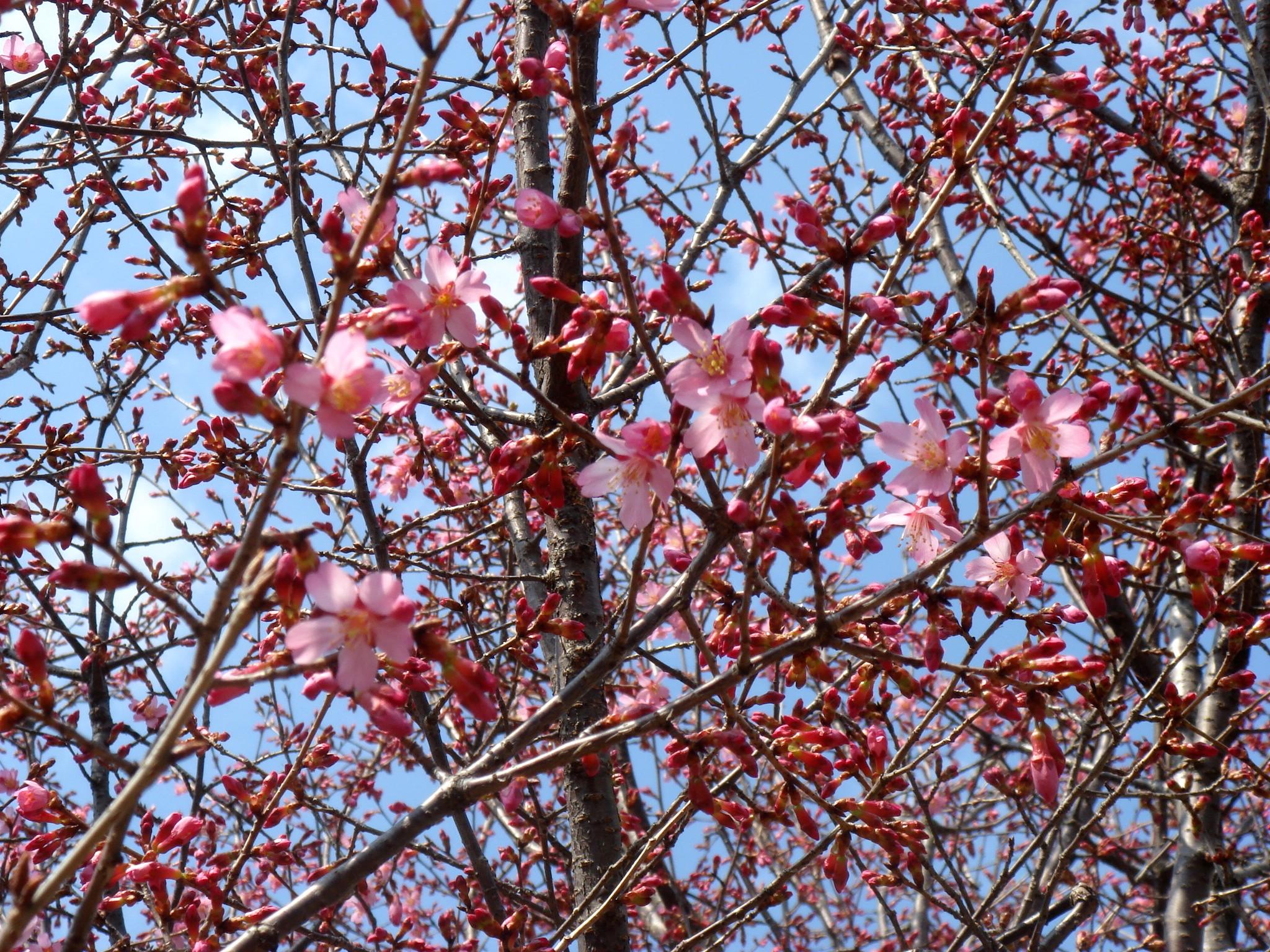 prunus incisa thunberg ex  murray cv  sousyunzakura