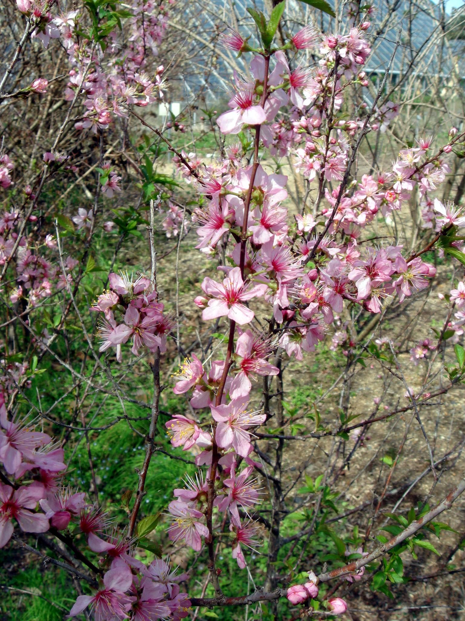 prunus japonica thunberg