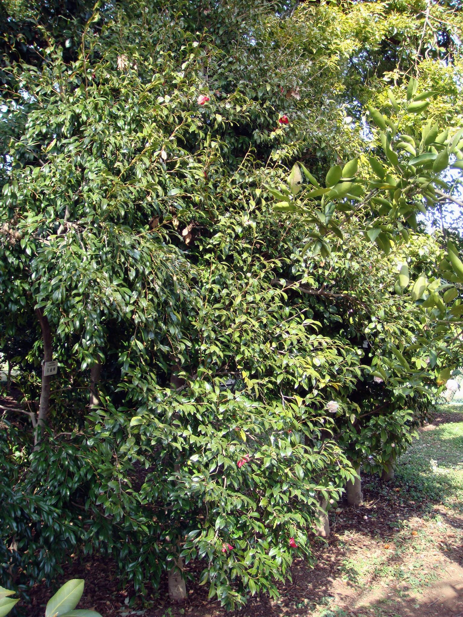 Camellia japonica l cv hiiragiba tsubaki - Cuidados de la camelia japonica ...