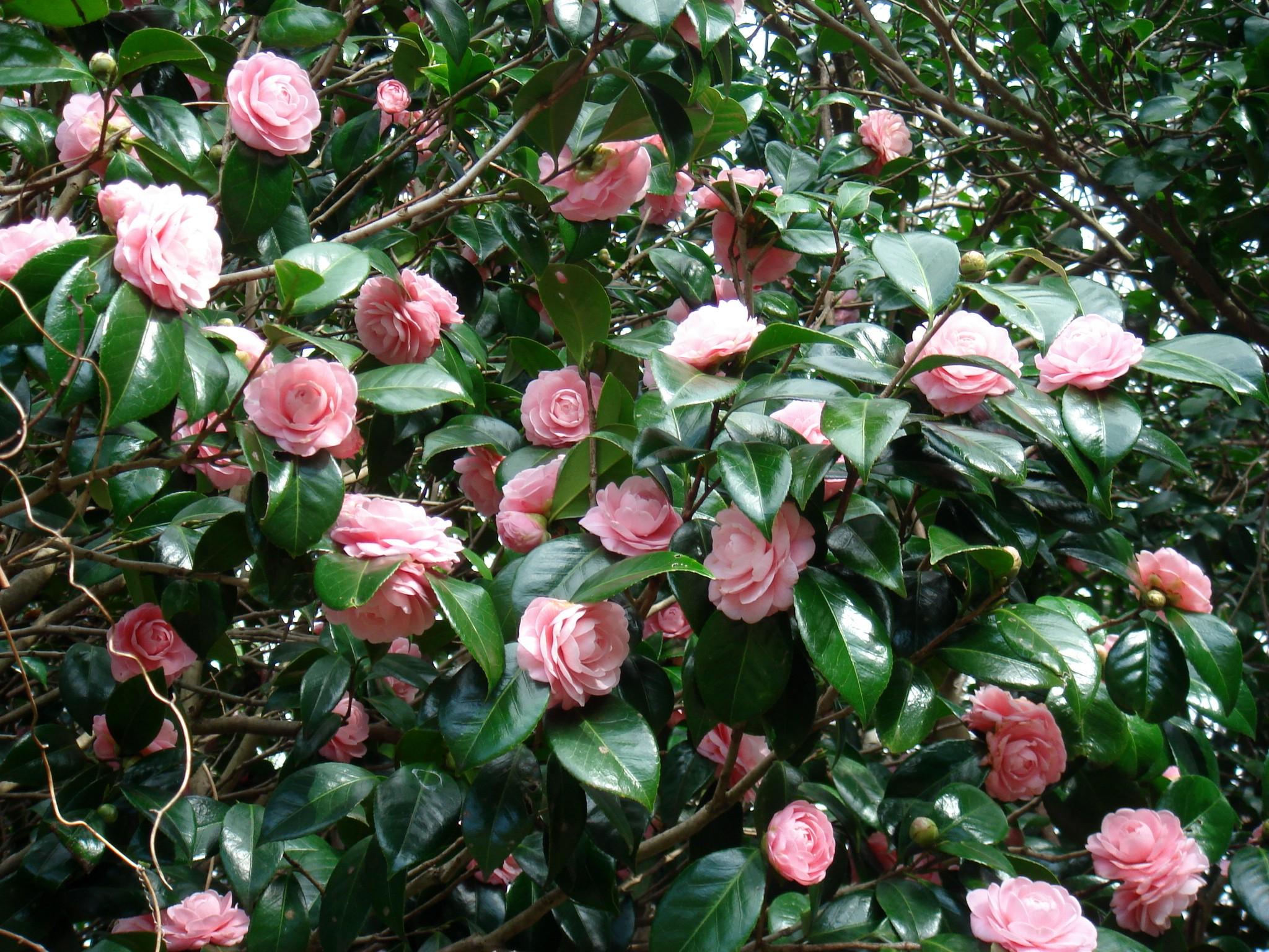 Camellia japonica l subsp rusticana honda kitamura cv for Celosias de jardin