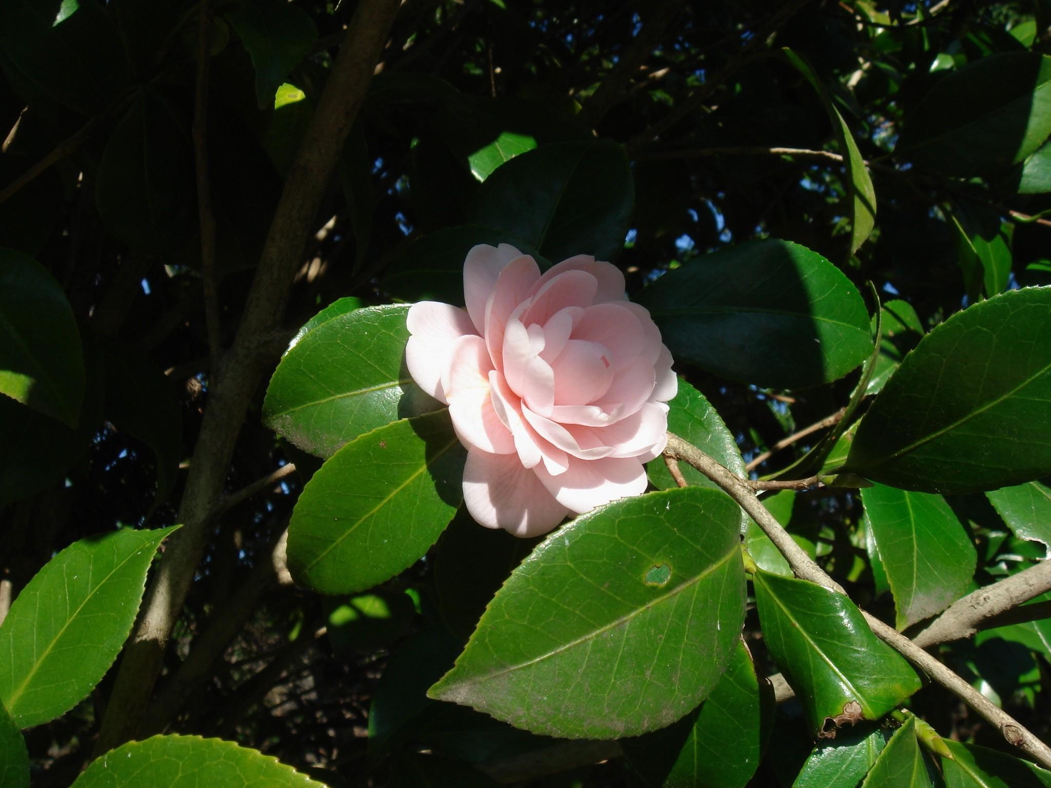 Camellia japonica l subsp rusticana honda kitamura cv - Cuidados de la camelia japonica ...