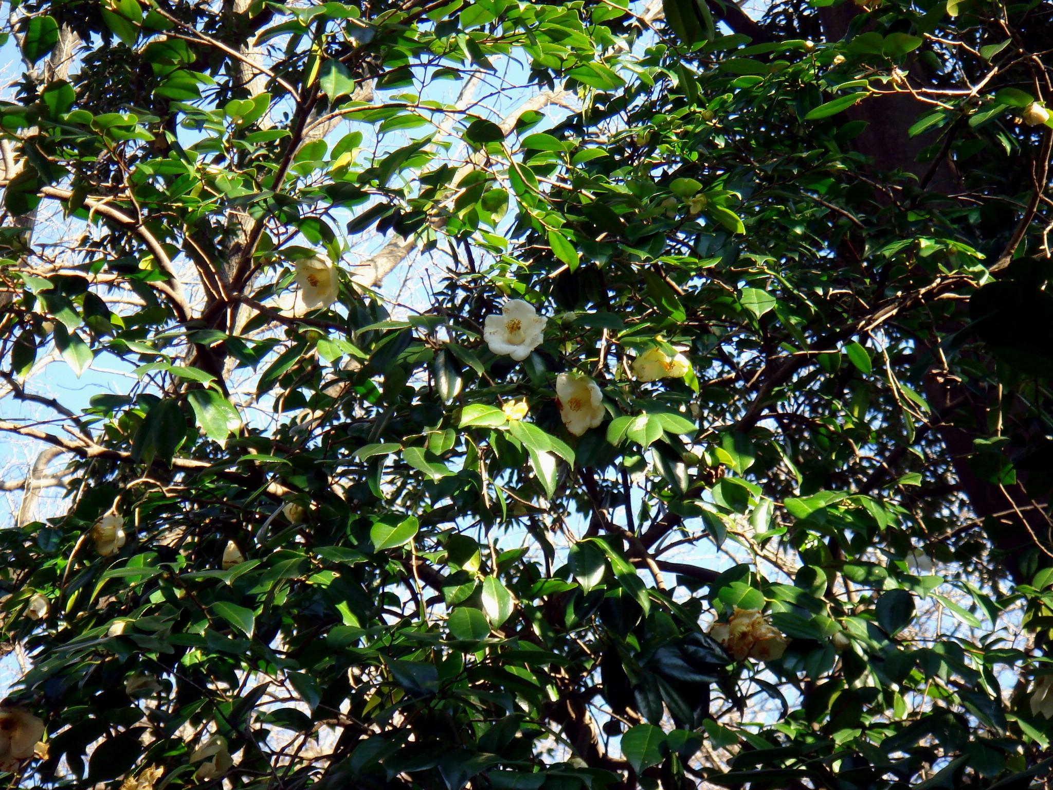 Camellia japonica l forma leucantha makino - Cuidados de la camelia japonica ...