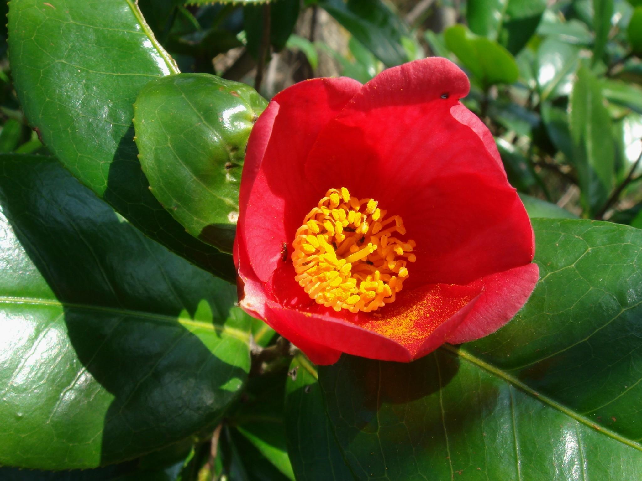 Camellia japonica l subsp rusticana honda kitamura - Cuidados de la camelia japonica ...