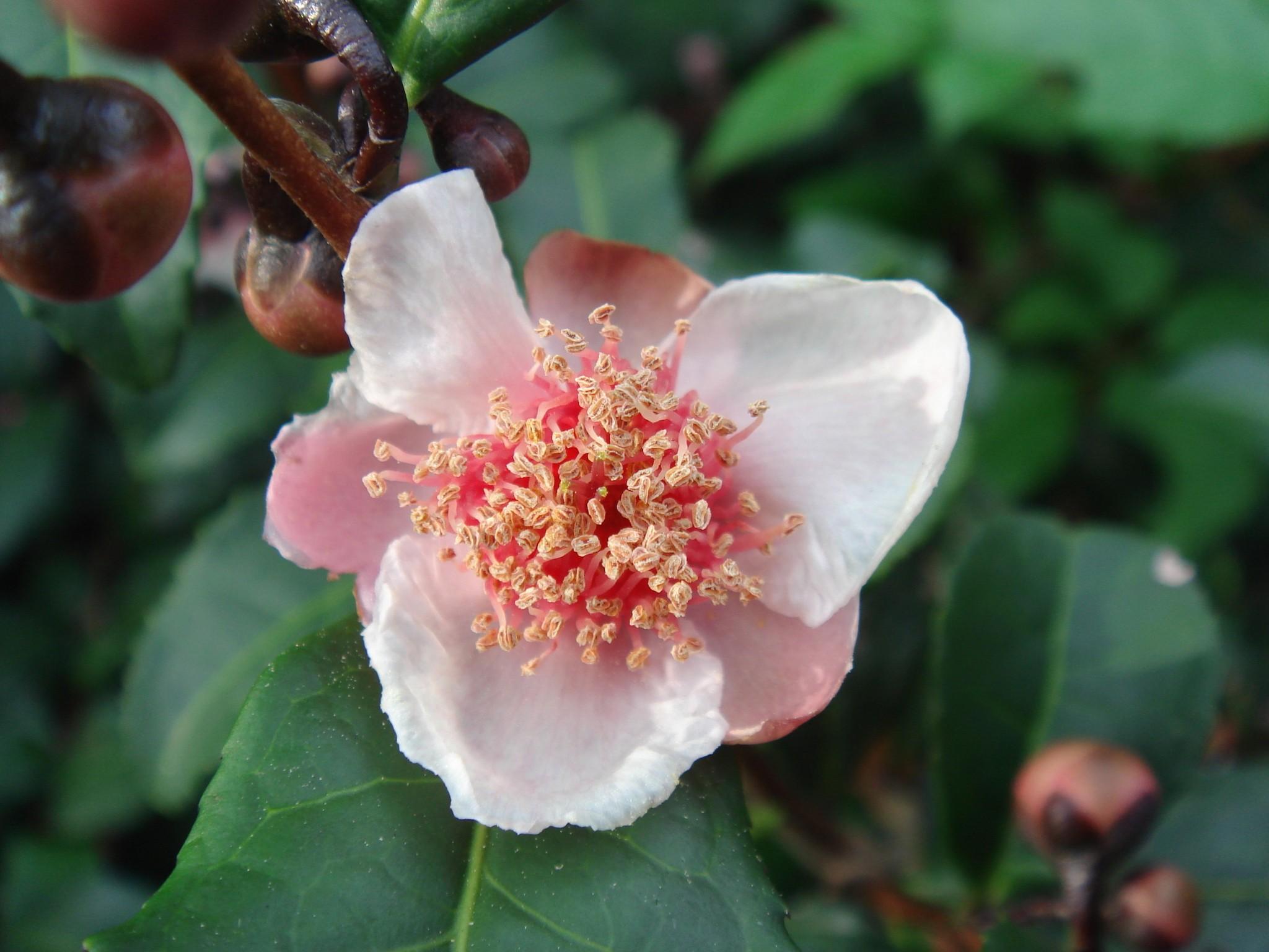 camellia sinensis  l   o  kuntze forma rosea  makino  kitamura
